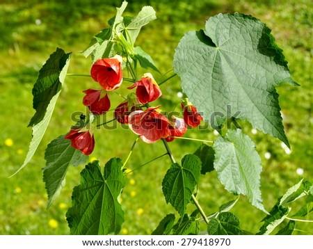 Abutilon shrub with red flowers - stock photo