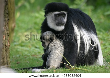 abyssinian black and white colobus - stock photo