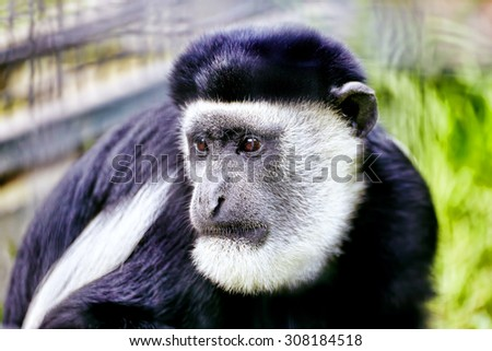Abyssinian black and white colobus in their natural habitat of wildlife. - stock photo
