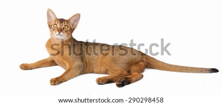 Abyssinian cat isolated - stock photo