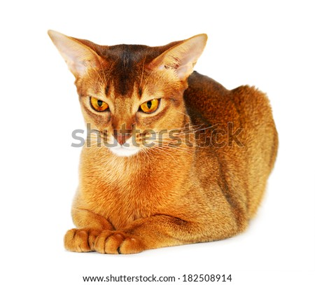 Abyssinian cat isolated on white background - stock photo