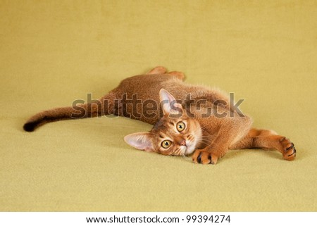 Abyssinian cat kitten lying stretched out on green background - stock photo