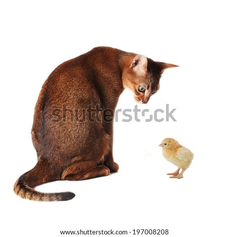 Abyssinian cat looking at chicken - stock photo
