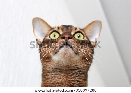 Abyssinian cat looking up - stock photo