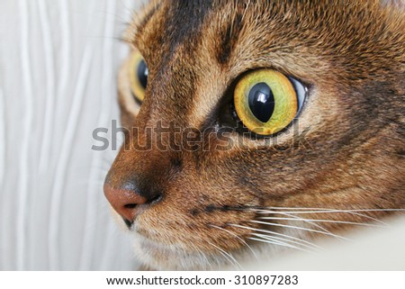 Abyssinian cat looking with interest. Closeup shot.