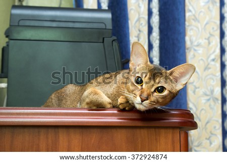 Abyssinian cat lying on a table and looking at the camera - stock photo