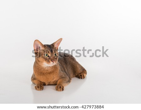 Abyssinian cat lying on the white background