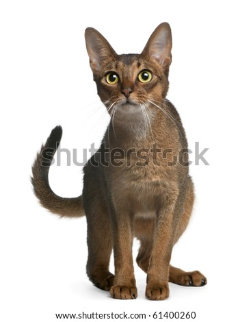 Abyssinian Cat, 14 months old, standing in front of white background - stock photo