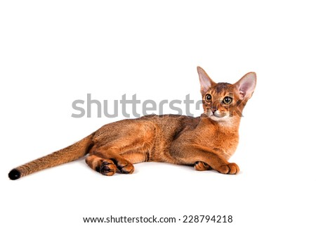 Abyssinian cat on a white background. Cat lying. - stock photo