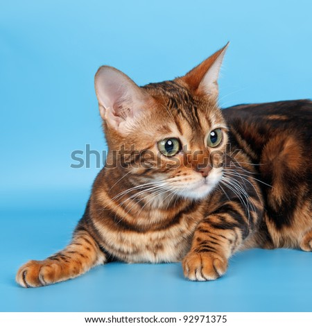 Abyssinian cat on blue background - stock photo
