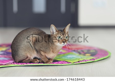 Abyssinian cat on the carpet