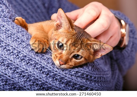 Abyssinian cat on the hands - stock photo