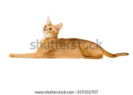 Abyssinian cat on white background.