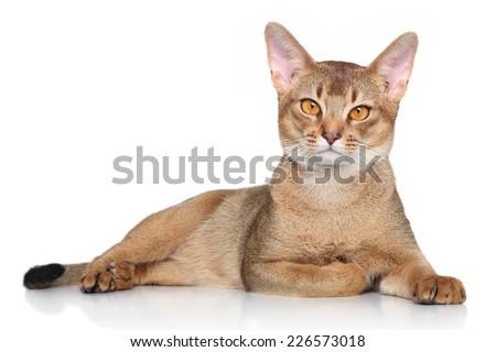 Abyssinian cat over white background - stock photo