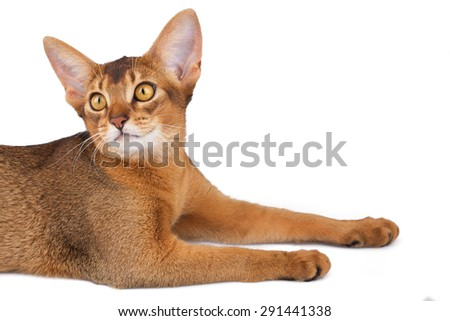 Abyssinian cat portait - stock photo