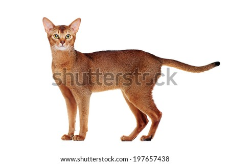 Abyssinian cat  side view full length - stock photo