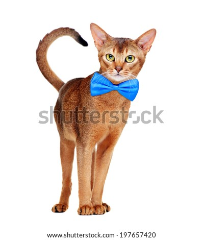 Abyssinian cat wearing bow tie standing front view