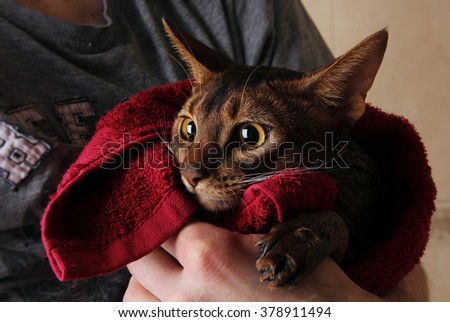 Abyssinian cat wet in red towel in master's hands - stock photo