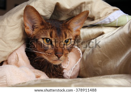 Abyssinian cat wet in towel lying in bed - stock photo