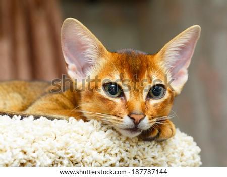 Abyssinian kitten - stock photo