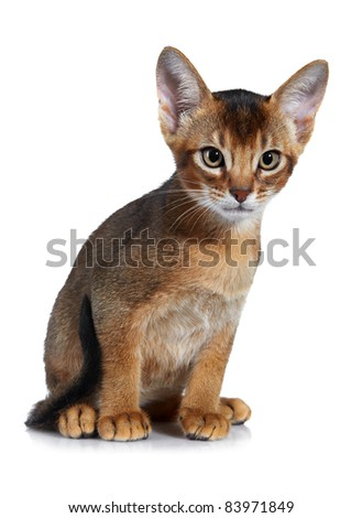 Abyssinian kitten. Age - 2 month - stock photo