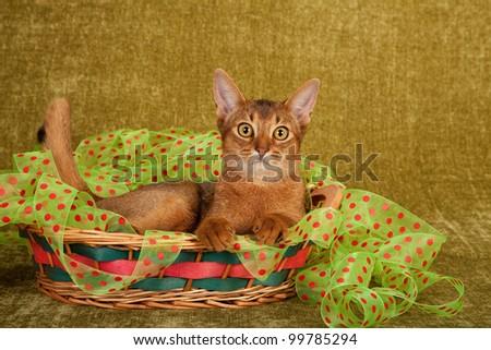 Abyssinian cat kaufen