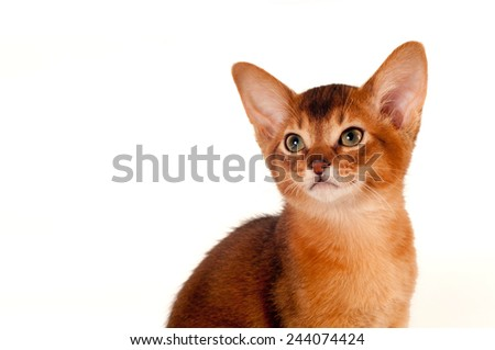 Abyssinian kitten closeup portrait isolated on white