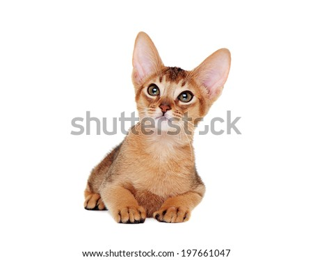 abyssinian kitten  lying on the floor  front view