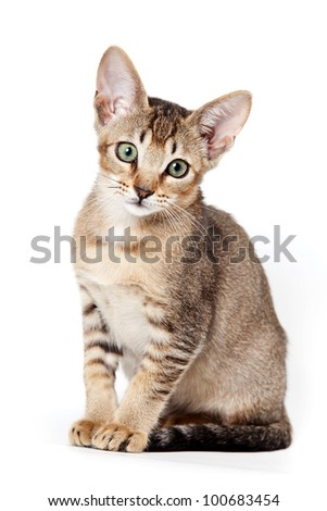 Abyssinian kitten on white background - stock photo