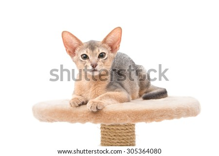 Abyssinian kitten on white background - stock photo