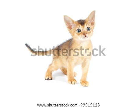 Abyssinian kitty isolated on white background
