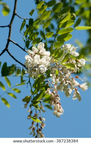 Acacia blossom against blue sky