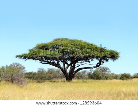 Acacia in Hwange National Park, Zimbabwe, Africa - stock photo