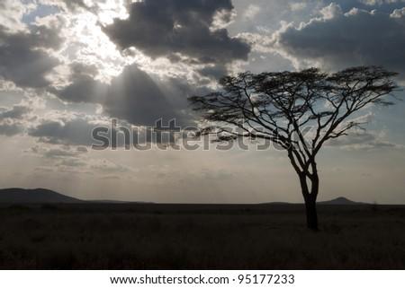 Acacia in Masai Mara. Kenya - stock photo