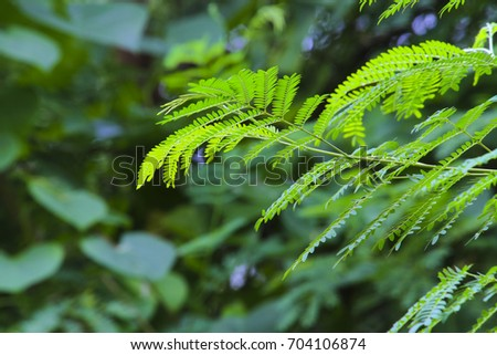 Acacia Leaf for natural background