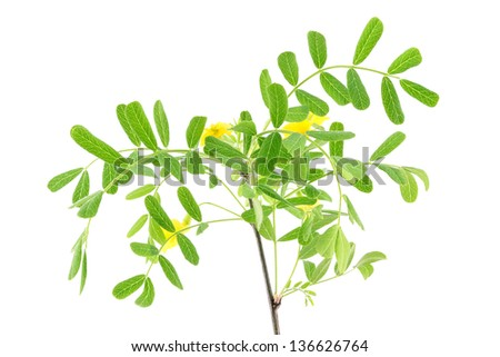 Acacia leaves with flower isolated on a white background - stock photo