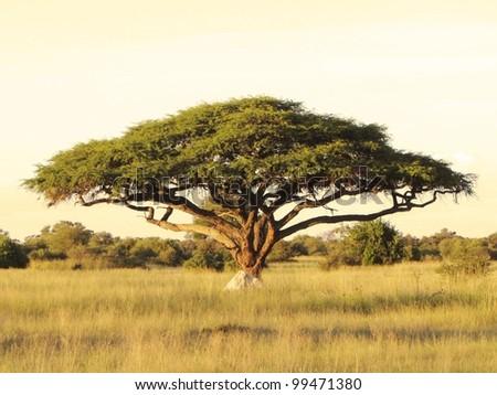 Acacia on the African plain - stock photo
