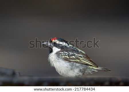 Acacia Pied Barbet (Tricholaema leucomelas) perched with a blurred dark background - stock photo