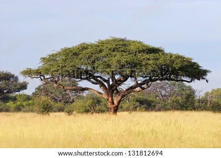 Acacia tree (Acacia erioloba), Hwange National Park, Zimbabwe, southern Africa - stock photo