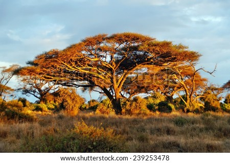 Acacia tree at sunrise in Amboseli National Park, Kenya - stock photo