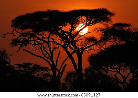 Acacia tree before sun set down in Amboseli park, Kenya. Silhouette - stock photo
