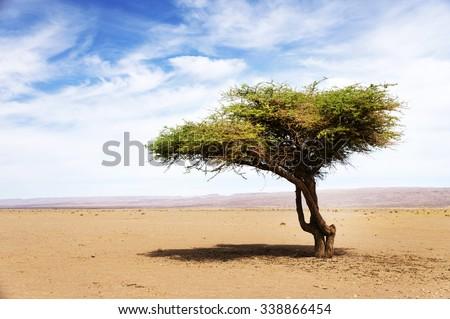Acacia tree in Sahara Desert, Africa - stock photo