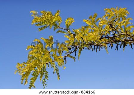 Acacia tree in the Summer - stock photo