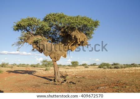 Acacia tree with huge apartment-house nest of weaver birds  in Kalahari desert in Namibia. - stock photo
