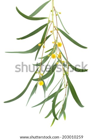 Acacia twig yellow fluffy ball flowers stock photo 203010259 acacia twig with yellow fluffy ball flowers isolated on white mightylinksfo Image collections