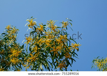 Acacia yellow flowers on blue sky stock photo royalty free acacia yellow flowers on blue sky background mightylinksfo