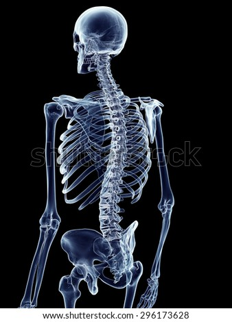 accurate medical illustration of the skeletal back
