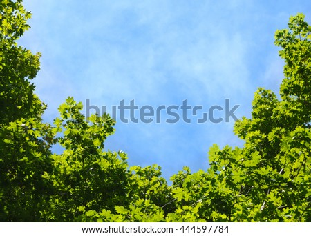 Acer foliage formed frame of blue sky at sunny day, view from below - stock photo
