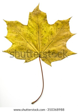 Acer  is a genus of trees or shrubs commonly known as maple - stock photo