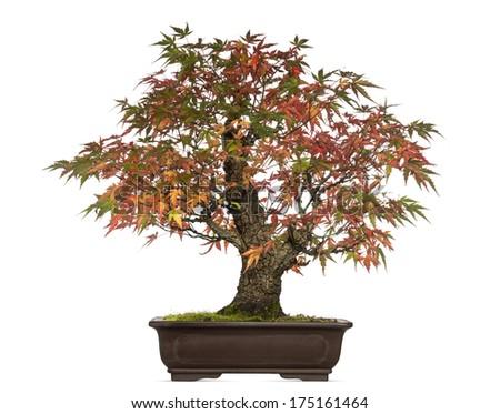 Acer japonicum bonsai tree, isolated on white - stock photo